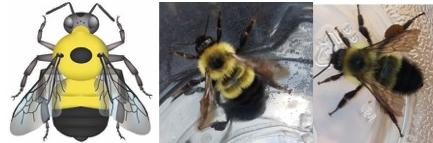 Half black bumble bee images