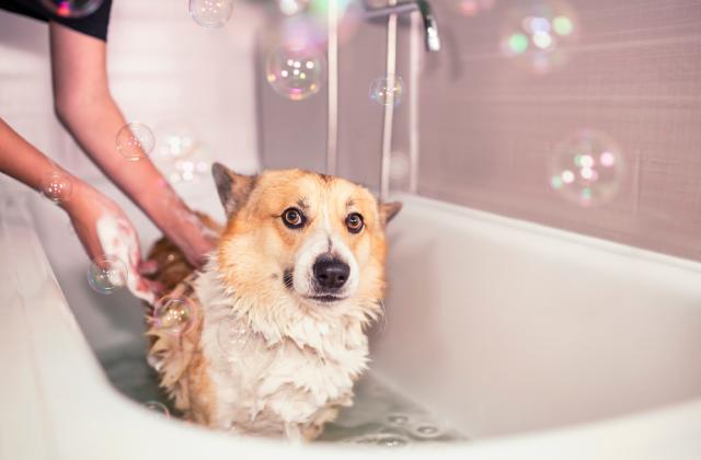 nên giữ gìn vệ sinh cho chó sạch sẽ khi mang bầu