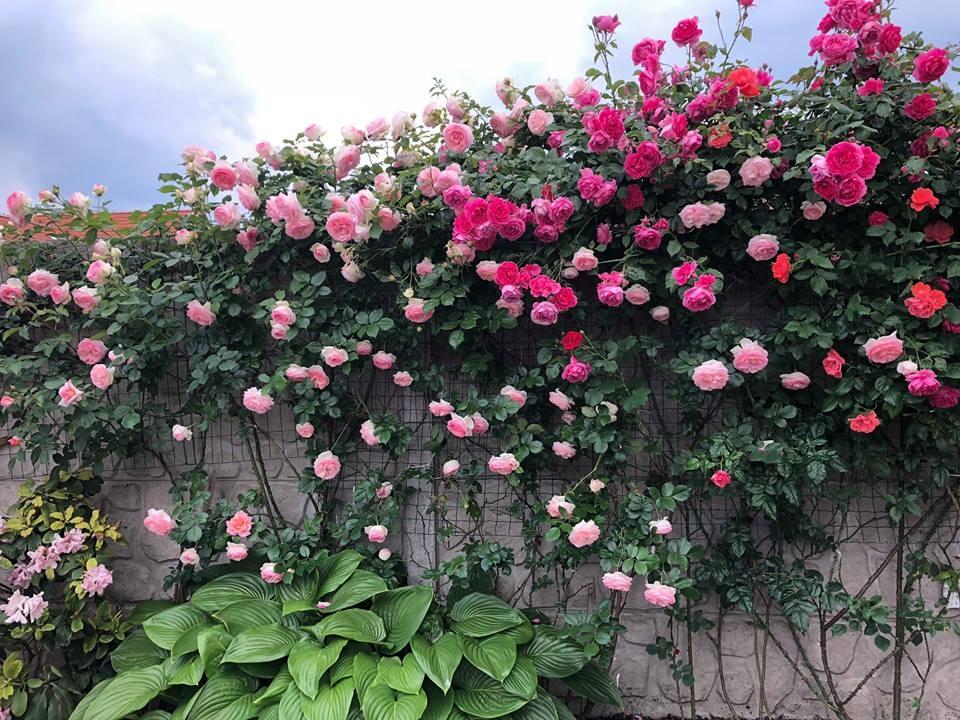 Hoa Hồng leo mang đến những bông hoa xinh xắn
