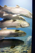 日本最大の淡水魚「天然イトウの大水槽」