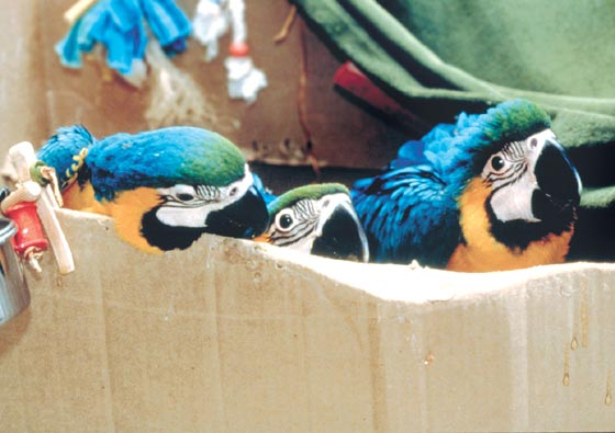 Baby blue and gold macaws benefit from an enriched cardboard box environment with a covered corner for hiding when needed