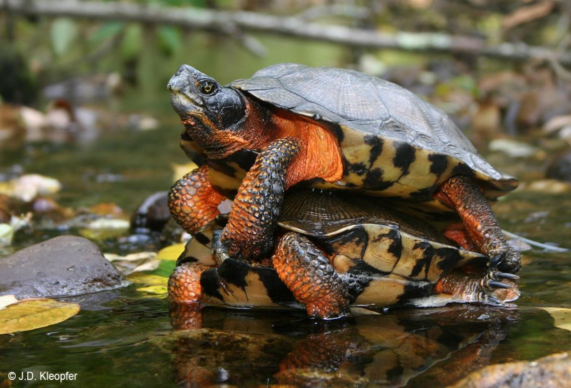 Image result for wood turtle mating
