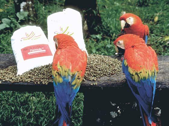 Free-ranging scarlet macaws hand-raised on an organic formula in Tambopata, Peru