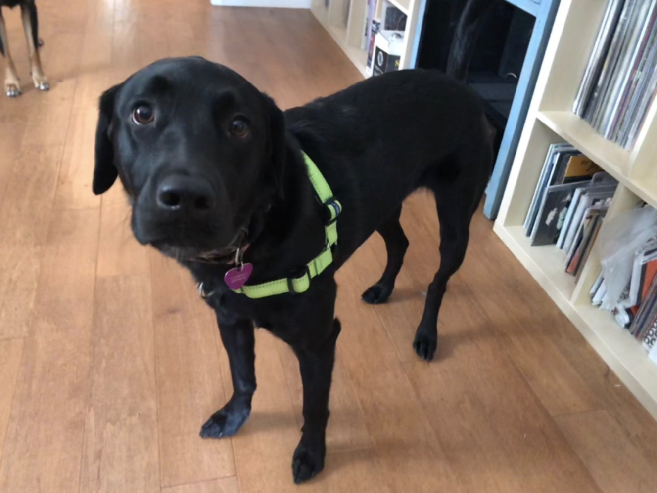 Black lab type dog wearing a neon green Easy Walk harness