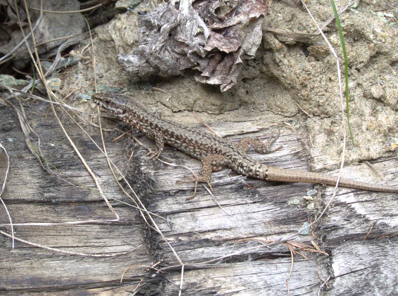 lizard_rsz.jpg