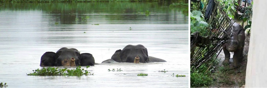 Wild elephants swim through the Kaziranga forest flooded by the Brahmaputra (left); a rhoniceros calf flooded out of the forest seeks refuge in a village home (right) [images by Hariswar Brahma, courtesy News Today]