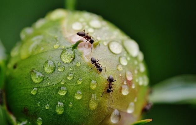Peony, Kiem, Mieren, Regen, Druppelen, Regendruppel