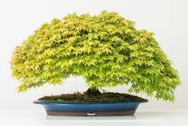 Resultado de imagen de bonsai