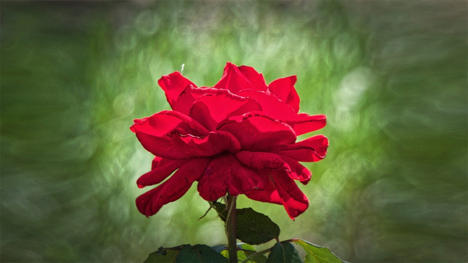 Scarlet The Rose HD 16x9.jpg