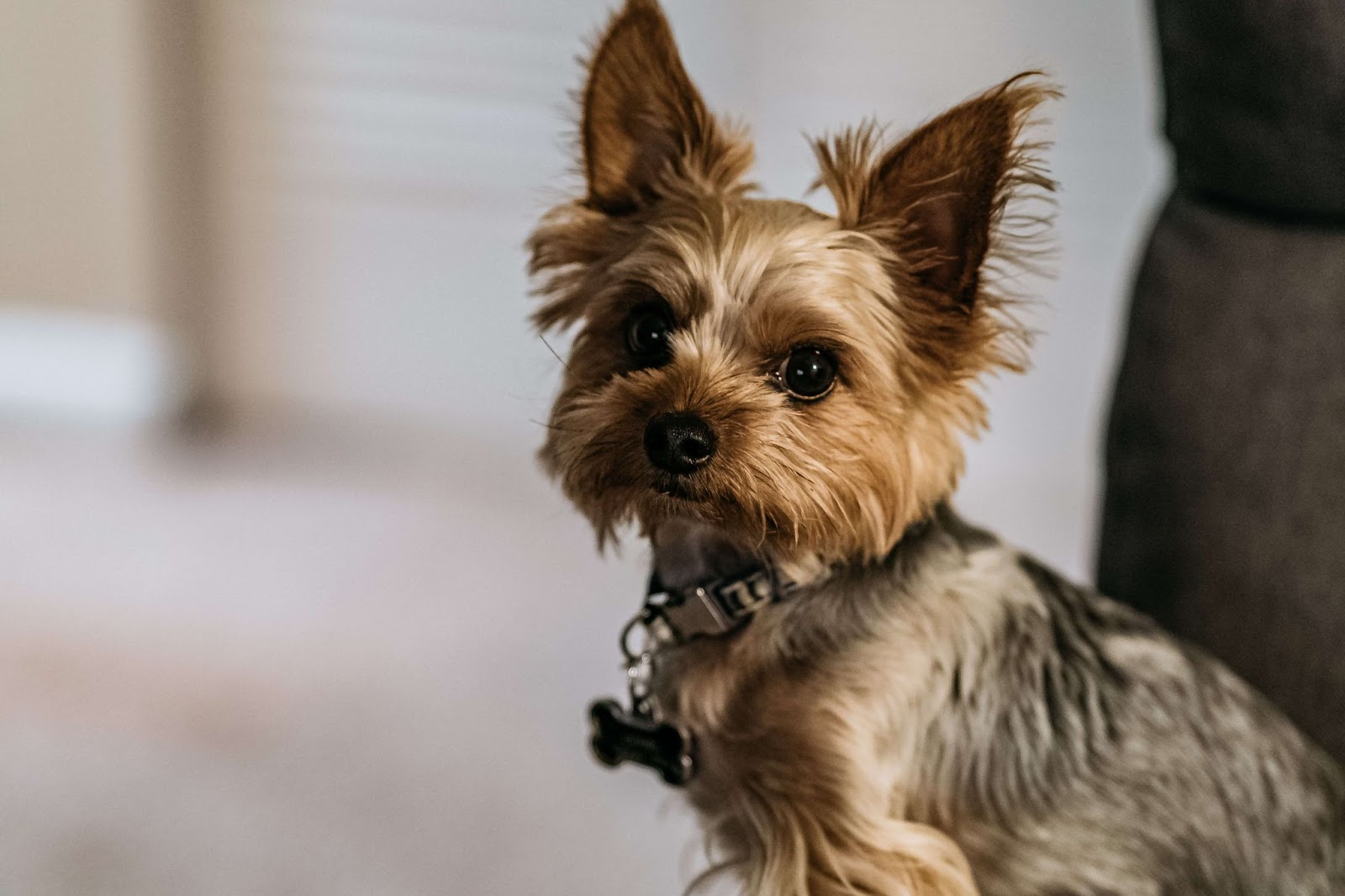 Why Does My Yorkie Snort Like A Pig?