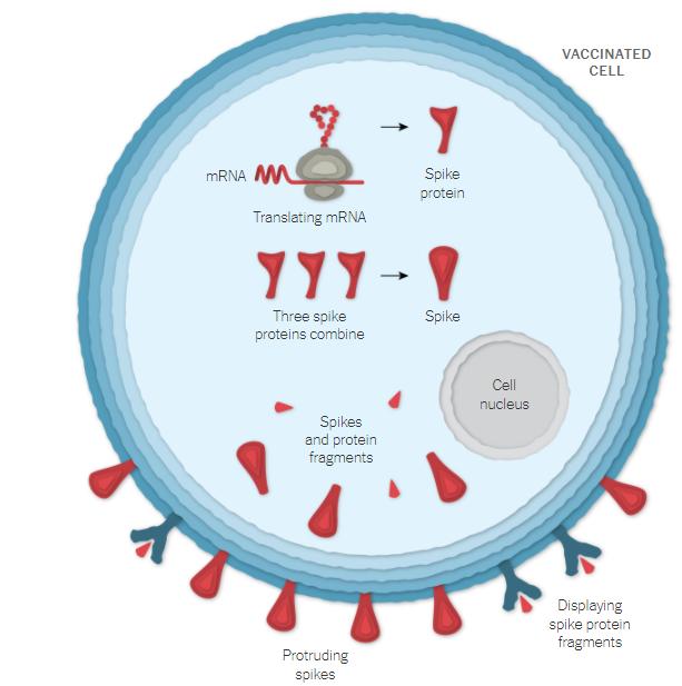Produção da proteína Spike pelo organismo após a vacina de Oxford