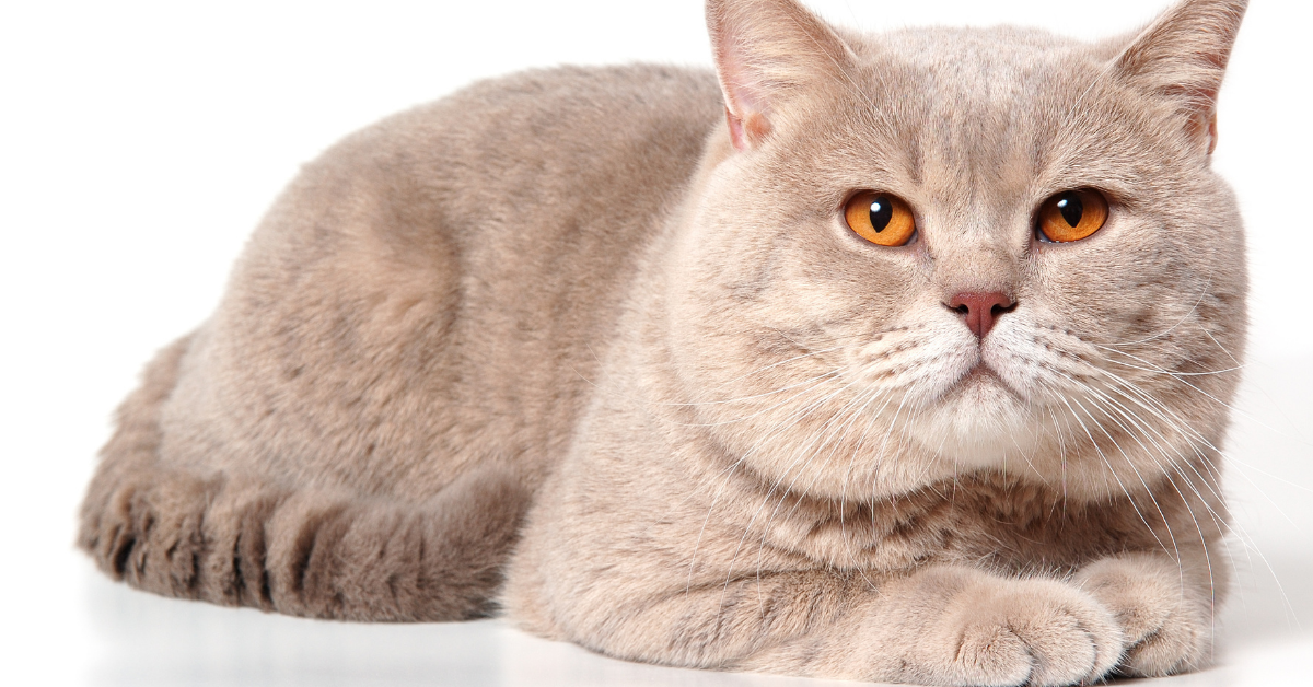 An even rare lilac color.  This cat needs recessive primary and dilution genes to occur.