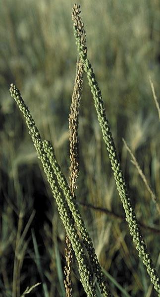 Arrow grass seed pods