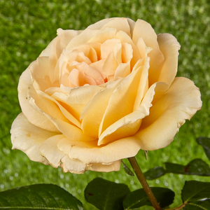 Hybrid Tea - yellow - Casanova - moderately intensive fragrance - Rose Shop  Online - - Order Roses Online » Hybrid Tea Rose - PharmaRosa®