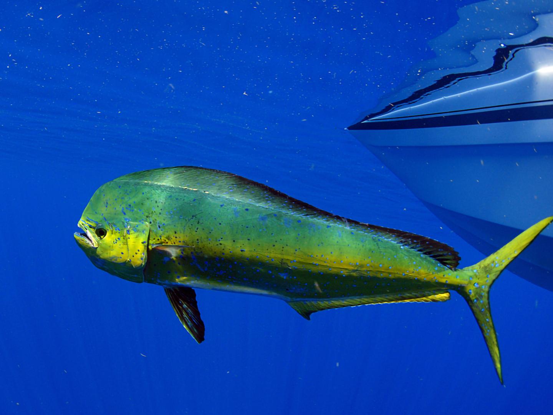 An image of a Mahi Mahi swimming away from a charter boat