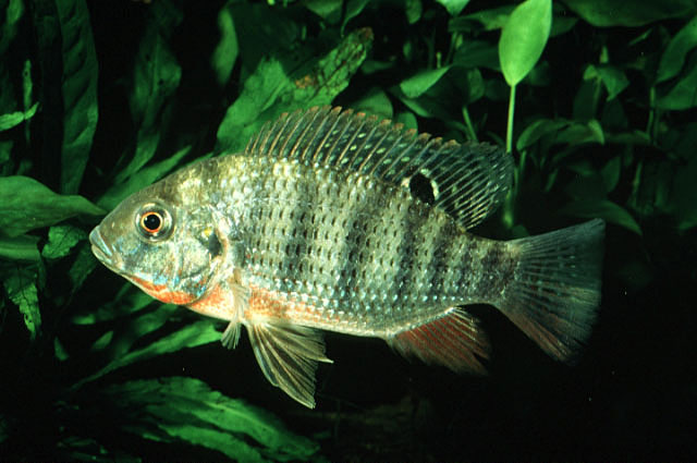 redbreasted-tilapia.jpg