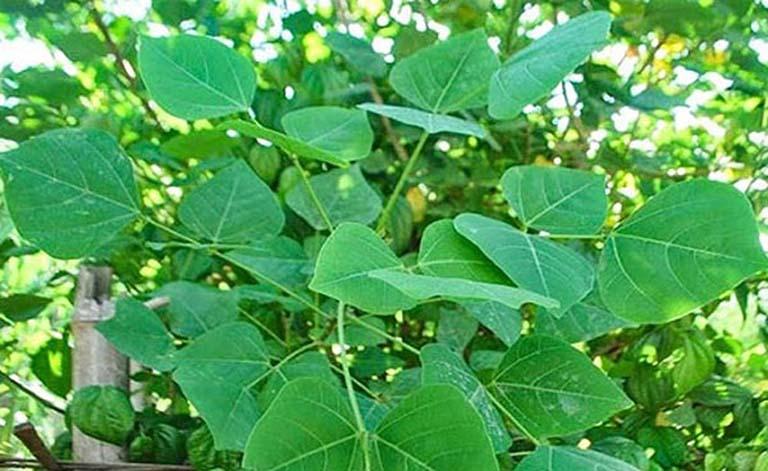 cách chữa bệnh trĩ bằng cây thuốc nam