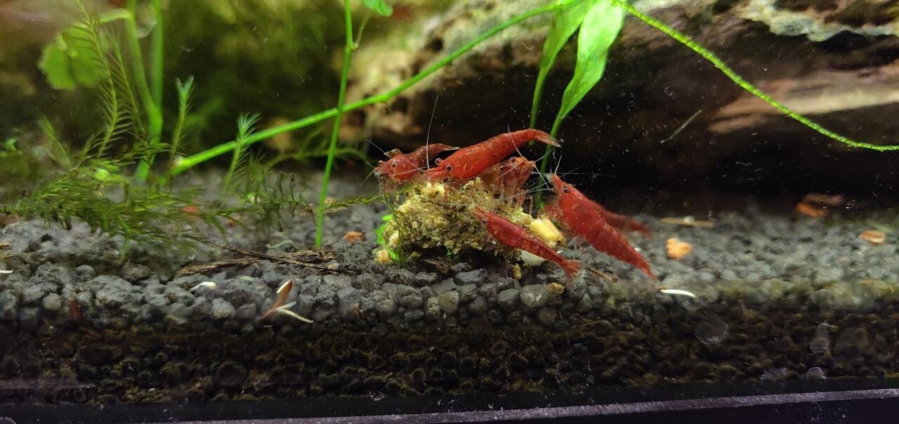红色樱桃虾