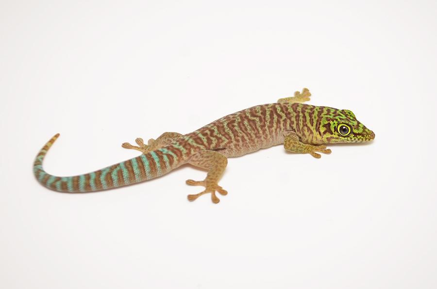 Image result for standing's day gecko