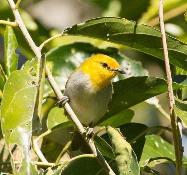 Yellow-ringed White-eye