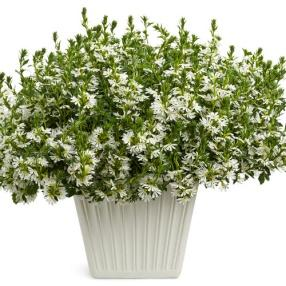 Image result for scaevola whirlwind white