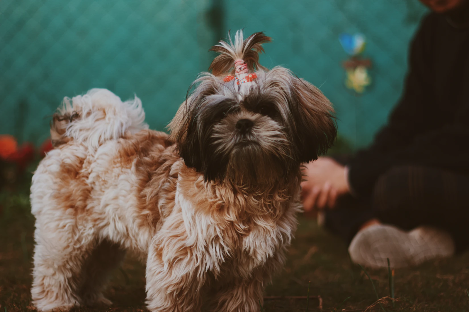 Shih Tzu looking at camera while wearing a ponytail | Royal dogs