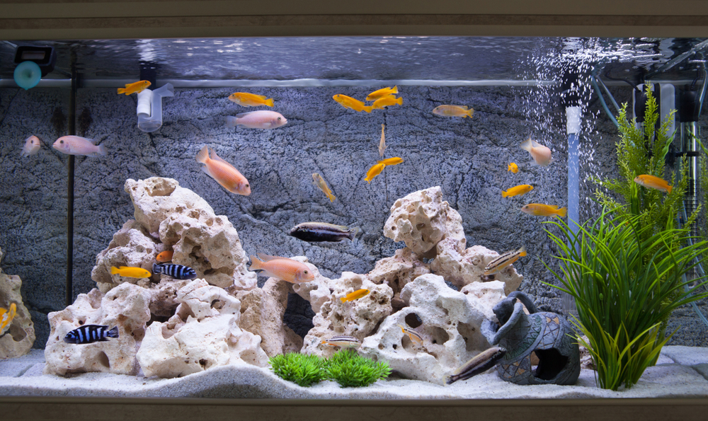 Ikan akuarium bisa menjadi peluang bisnis hobi yang menguntungkan di masa new normal