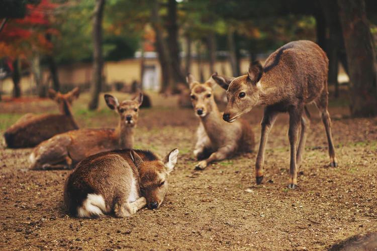 Deer resting in Nara Park
