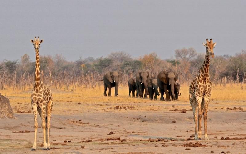 82 - Imvelo Safari Lodges - Camelthorn Lodge - Giraffes frame elephants.jpg