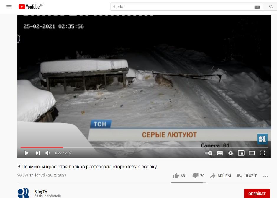 Video, na němž vlci zabili psa uvázaného na řetězu pochází dle RifeyTV z obce Krasnovišersk v Rusku