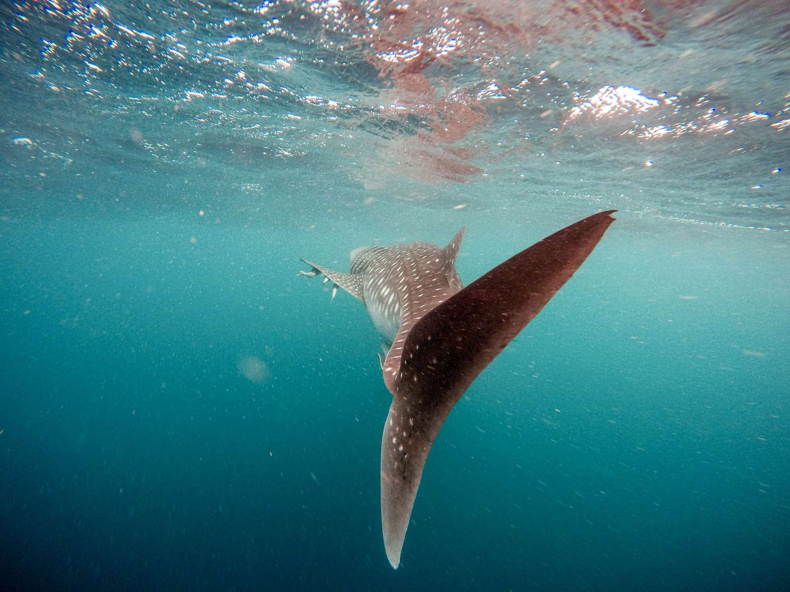 whale shark dive and diving