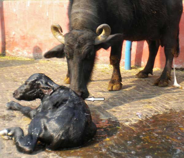 Feto-maternal interaction after parturition. Arrow indicates the buffalo licking the wet hair coat of the fetus.