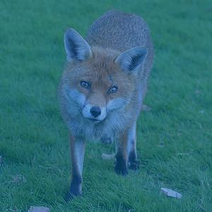 Fox animal in Germany