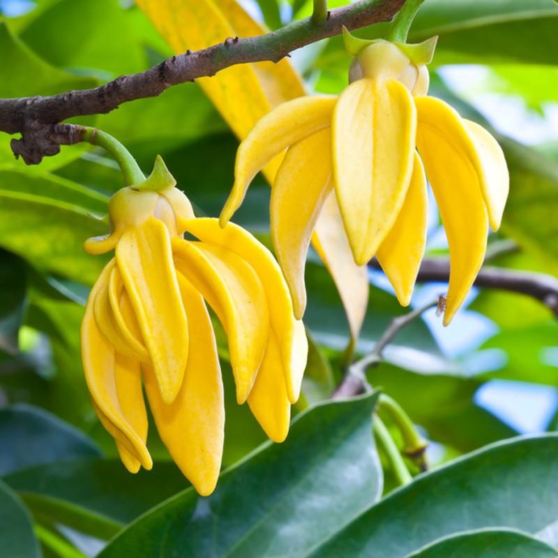 Conoce los beneficios del aceite esencial de Ylang Ylang para combatir el stress y cómo aplicarlo 1
