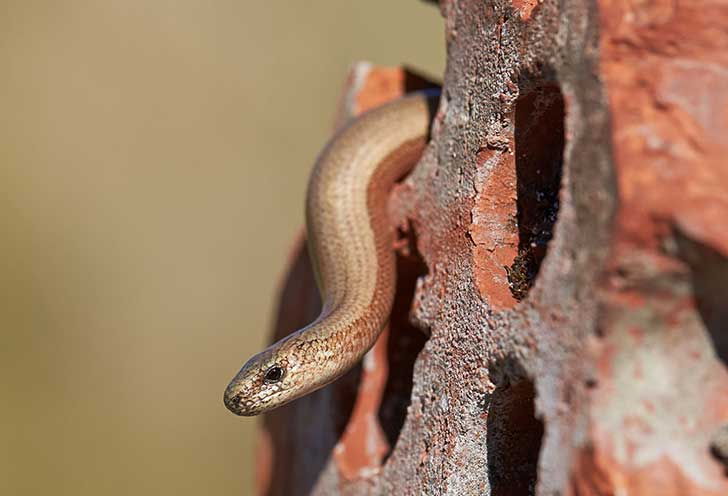 A slow worm, a legless lizard which looks like a brown snake, slithering out from brickwork